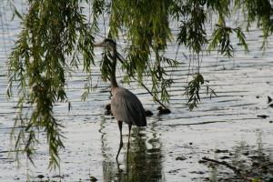 heron-under-weeping-willow-1369131-1279x852
